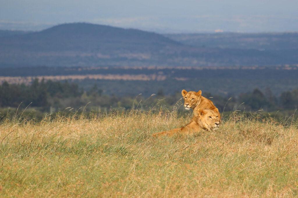 Løve. Fra vores safari. Uldum Højskoles tur til Kenya i Afrika.