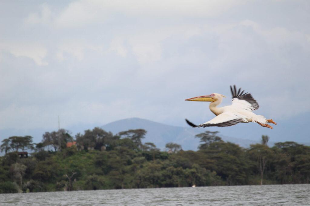 Hvid pelikan. Uldum Højskoles tur til Kenya i Afrika.