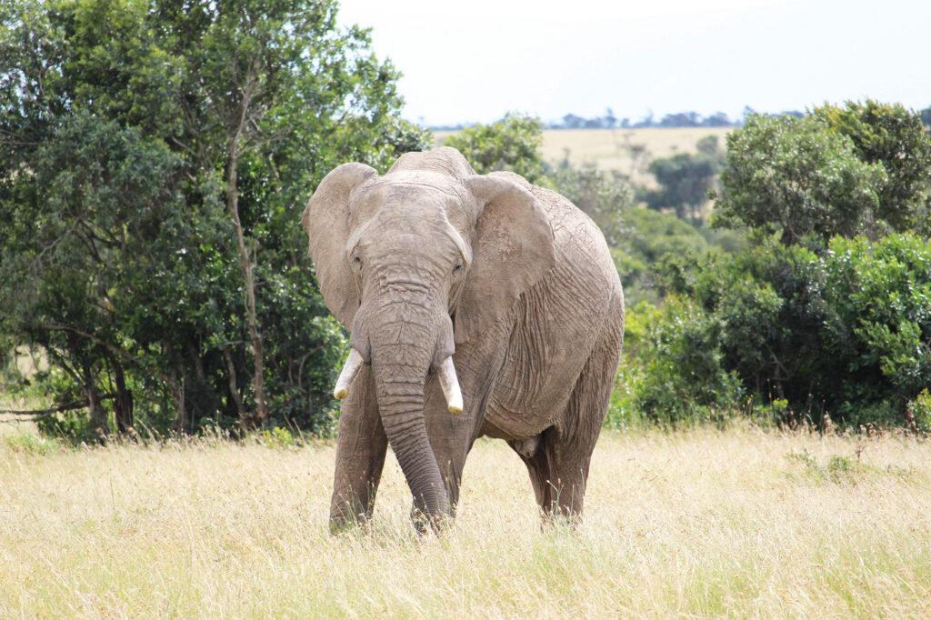 Elefant fra vores safari-tur.
