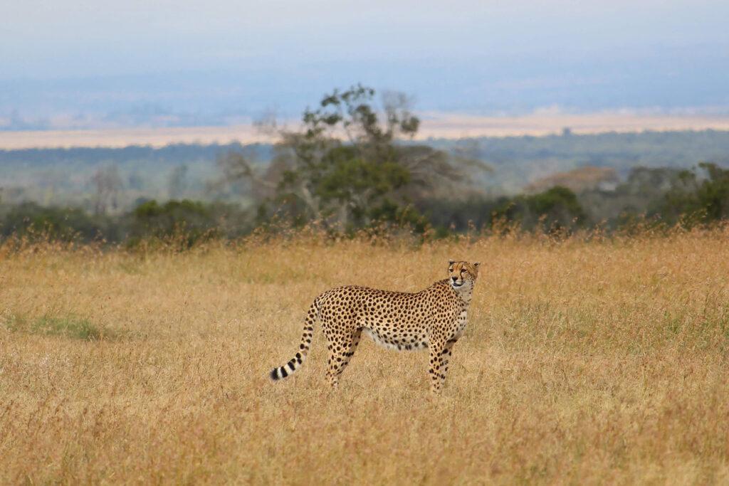 Gepard. Fra vores safari. Uldum Højskoles tur til Kenya i Afrika.